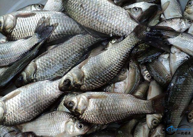 用常见材料制作出来的饵料,成本低味型好,鲫鱼就好这口-1.jpg