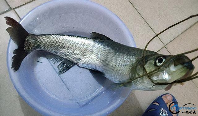 请教钓鱼人,路亚翘嘴鱼时,PE线的前导线用碳线好还是尼龙线好?-1.jpg