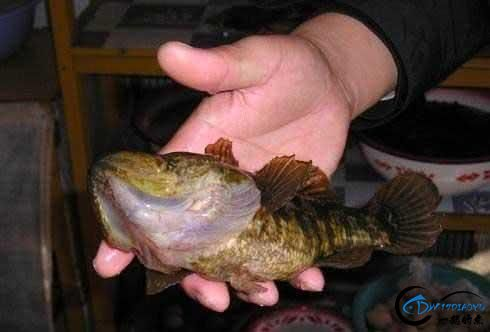 东北的老头鱼是一种什么鱼?-1.jpg