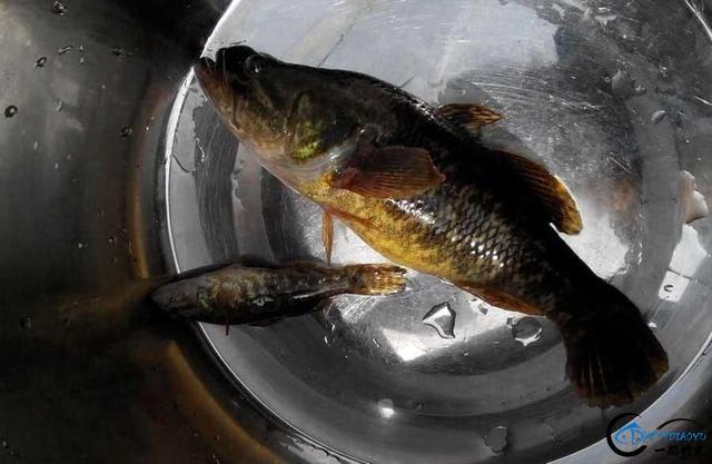 东北的老头鱼是一种什么鱼?-4.jpg