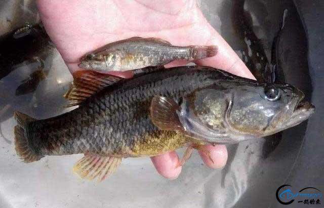 东北的老头鱼是一种什么鱼?-2.jpg