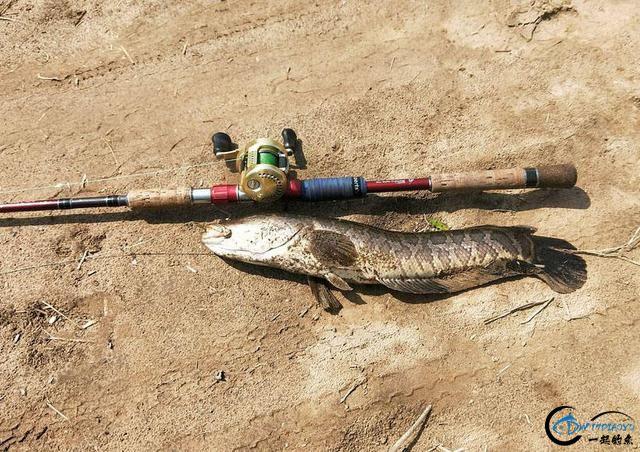 """为什么钓鱼人把这种鱼的钓法叫做""""雷强""""-21.jpg"""