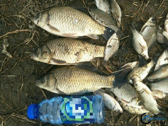 迎着朝霞出钓,一上午只收获了三条像样的鲫鱼,剩下的全部放流了-3.jpg