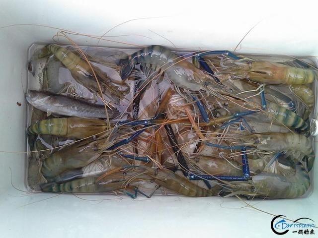 中国钓友湄公河狠狠的教训了一下湄公河泛滥的罗氏虾,真过瘾-11.jpg