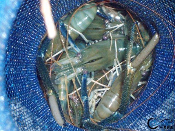 中国钓友湄公河狠狠的教训了一下湄公河泛滥的罗氏虾,真过瘾-10.jpg
