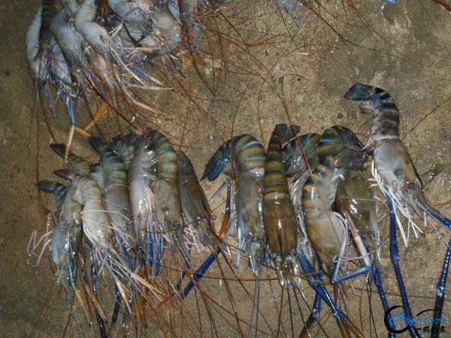 中国钓友湄公河狠狠的教训了一下湄公河泛滥的罗氏虾,真过瘾-19.jpg