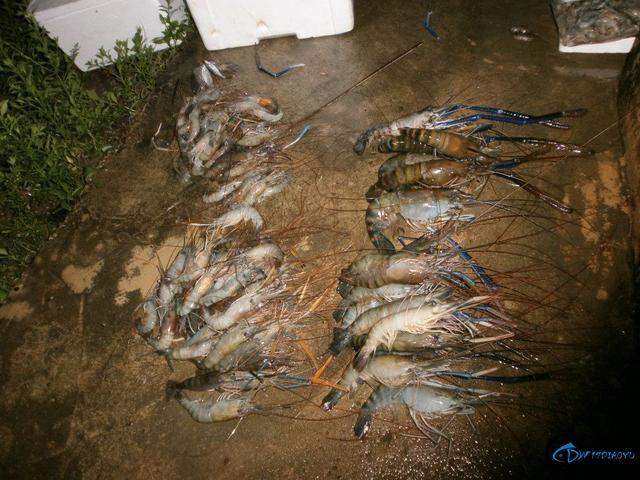 中国钓友湄公河狠狠的教训了一下湄公河泛滥的罗氏虾,真过瘾-17.jpg