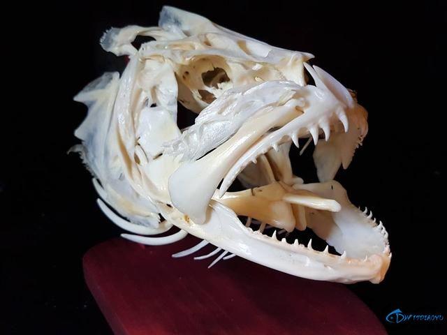 若是你能从这些鱼骨中喊出鱼的名字,那你一定就是大神中大神-14.jpg