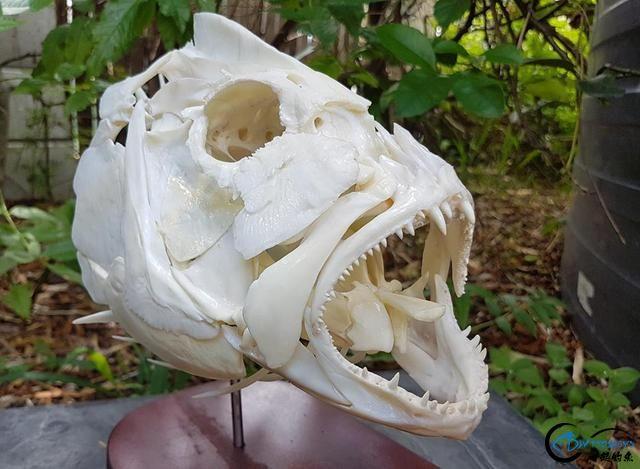 若是你能从这些鱼骨中喊出鱼的名字,那你一定就是大神中大神-6.jpg