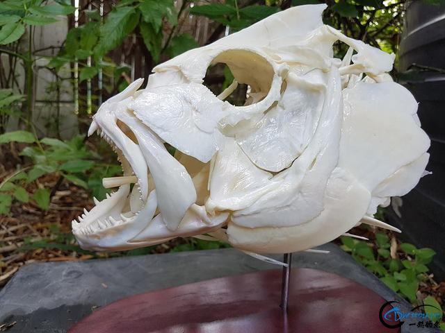 若是你能从这些鱼骨中喊出鱼的名字,那你一定就是大神中大神-7.jpg