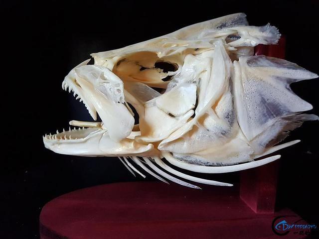 若是你能从这些鱼骨中喊出鱼的名字,那你一定就是大神中大神-15.jpg