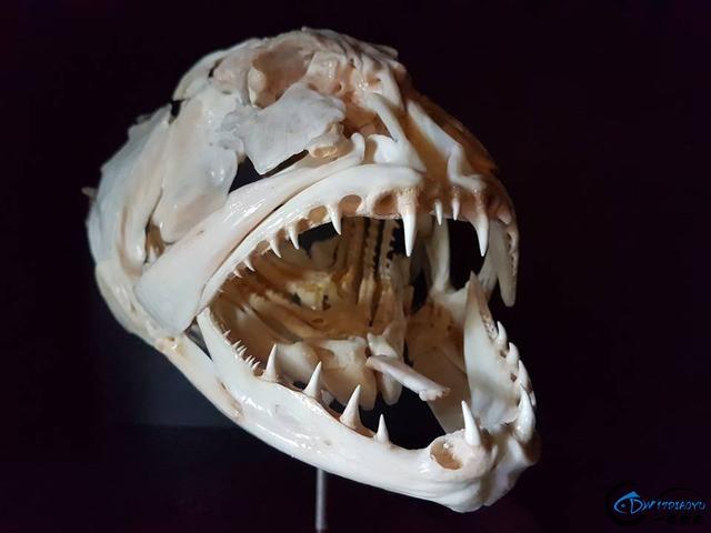 若是你能从这些鱼骨中喊出鱼的名字,那你一定就是大神中大神-17.jpg