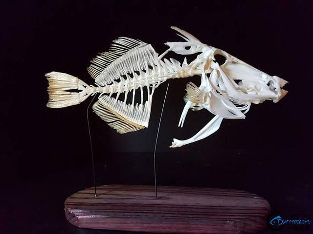 若是你能从这些鱼骨中喊出鱼的名字,那你一定就是大神中大神-18.jpg