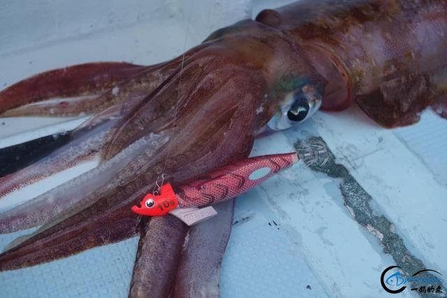 又一波年轻人中了海钓的毒,疯狂海钓鱿鱼和乌贼,渔获太牛了-10.jpg