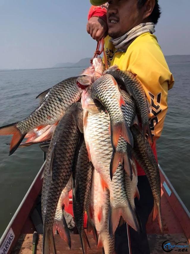 泰国秋兰湖真的是钓鱼人的天堂,鱼多的只能用泛滥来形容了-13.jpg