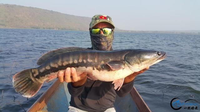 蛇头鱼又在北美泛滥成灾了,中国钓鱼人肩负着拯救美国的重任-24.jpg