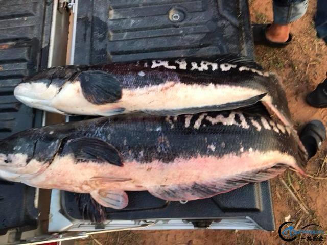 蛇头鱼又在北美泛滥成灾了,中国钓鱼人肩负着拯救美国的重任-25.jpg