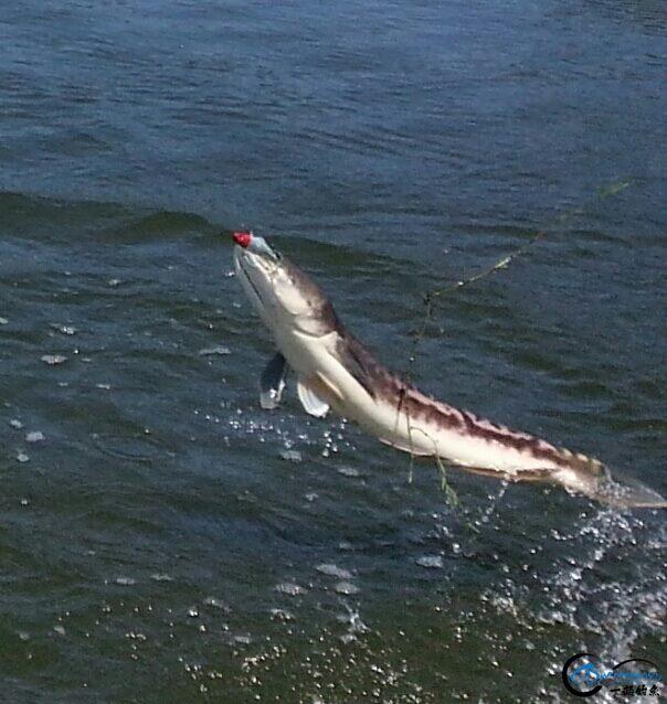 蛇头鱼又在北美泛滥成灾了,中国钓鱼人肩负着拯救美国的重任-15.jpg