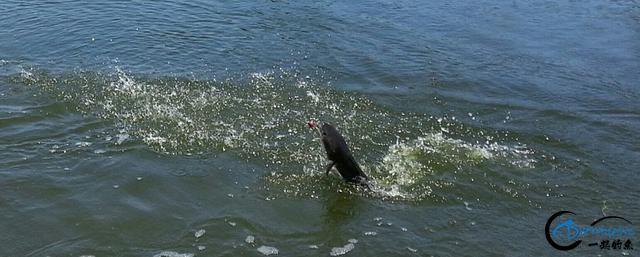 继亚洲鲤鱼之后,蛇头鱼又在美国泛滥成灾,好莱坞还拍了电影-14.jpg