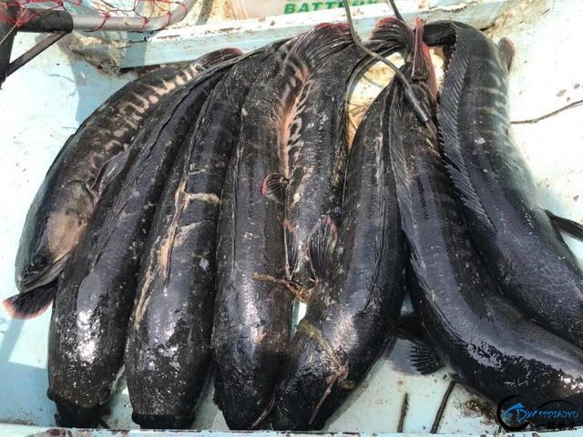 继亚洲鲤鱼之后,蛇头鱼又在美国泛滥成灾,好莱坞还拍了电影-19.jpg