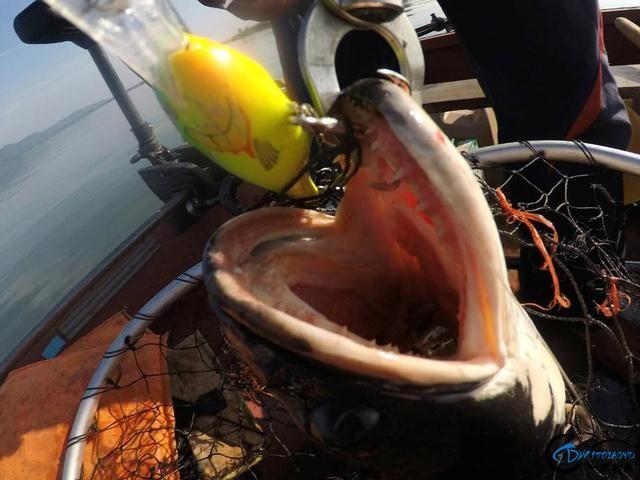 继亚洲鲤鱼之后,蛇头鱼又在美国泛滥成灾,好莱坞还拍了电影-16.jpg