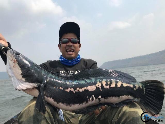 继亚洲鲤鱼之后,蛇头鱼又在美国泛滥成灾,好莱坞还拍了电影-6.jpg