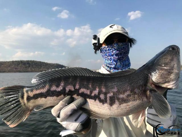 继亚洲鲤鱼之后,蛇头鱼又在美国泛滥成灾,好莱坞还拍了电影-7.jpg