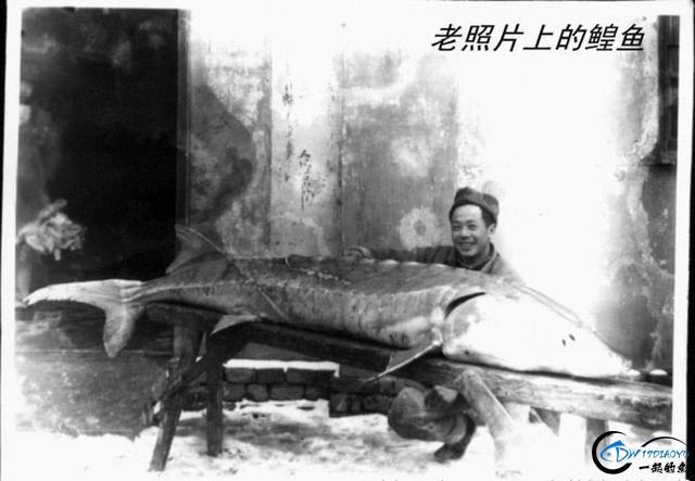 """能长到上千斤的""""淡水鱼王""""黑龙江大鳇鱼背后的故事-3.jpg"""