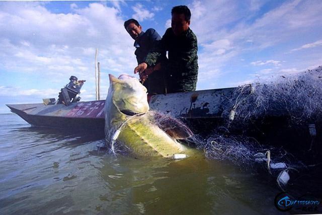"""能长到上千斤的""""淡水鱼王""""黑龙江大鳇鱼背后的故事-17.jpg"""