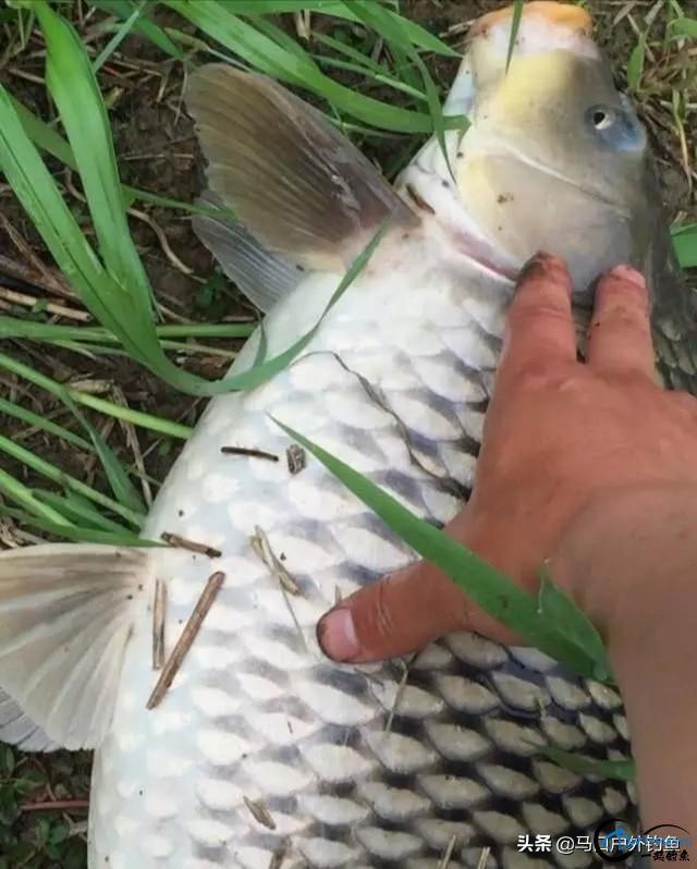 """鲤鱼要钓""""大的""""才过瘾,这4个绝招,专钓5斤以上的大鲤鱼-3.jpg"""