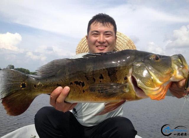 以美丽凶悍著称的孔雀鲈,遇见鱼饵拼命追,想钓点别的鱼都困难-6.jpg