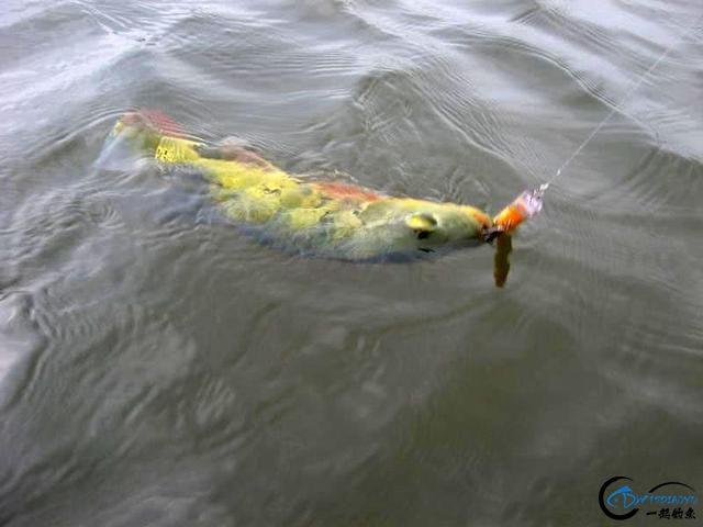 以美丽凶悍著称的孔雀鲈,遇见鱼饵拼命追,想钓点别的鱼都困难-14.jpg