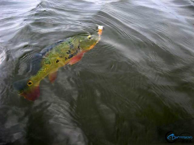 以美丽凶悍著称的孔雀鲈,遇见鱼饵拼命追,想钓点别的鱼都困难-13.jpg