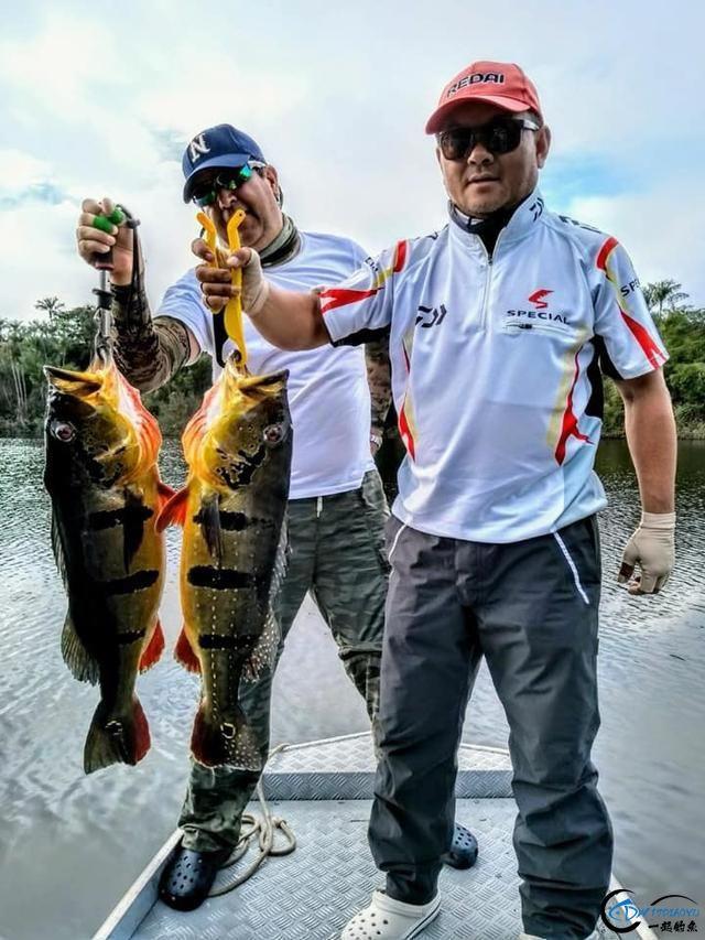 以美丽凶悍著称的孔雀鲈,遇见鱼饵拼命追,想钓点别的鱼都困难-8.jpg