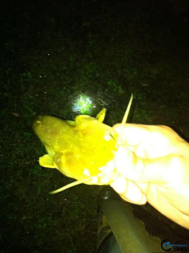 夜钓土鲶鱼用的什么饵?才能有这样的收获-7.jpg