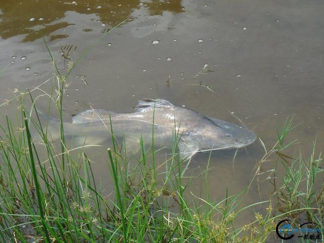 曾经是泛滥成灾的入侵鱼种,结果惨被吃成依靠政府保护的鱼种-8.jpg