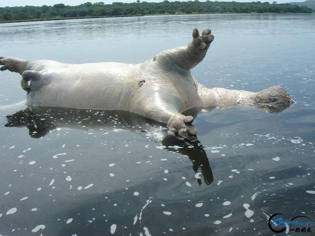 曾经是泛滥成灾的入侵鱼种,结果惨被吃成依靠政府保护的鱼种-7.jpg