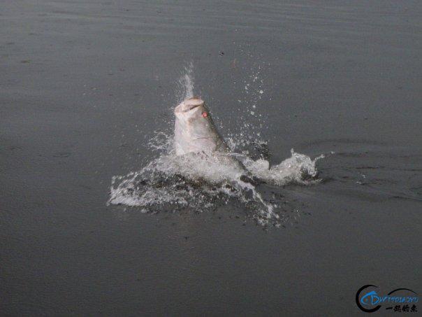 曾经是泛滥成灾的入侵鱼种,结果惨被吃成依靠政府保护的鱼种-12.jpg