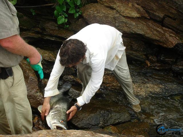 曾经是泛滥成灾的入侵鱼种,结果惨被吃成依靠政府保护的鱼种-29.jpg
