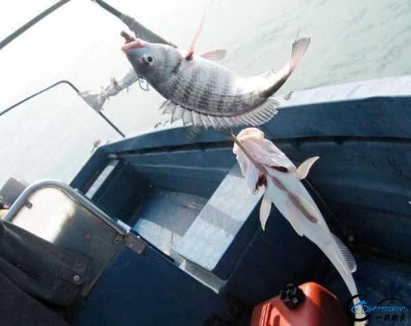 钓黑鲷是一件很有意思的事情,此鱼生性凶猛,嘴大,贪吃-5.jpg