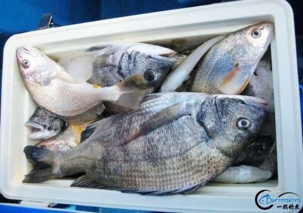 钓黑鲷是一件很有意思的事情,此鱼生性凶猛,嘴大,贪吃-12.jpg
