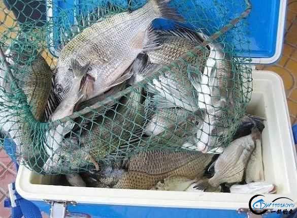 钓黑鲷是一件很有意思的事情,此鱼生性凶猛,嘴大,贪吃-11.jpg