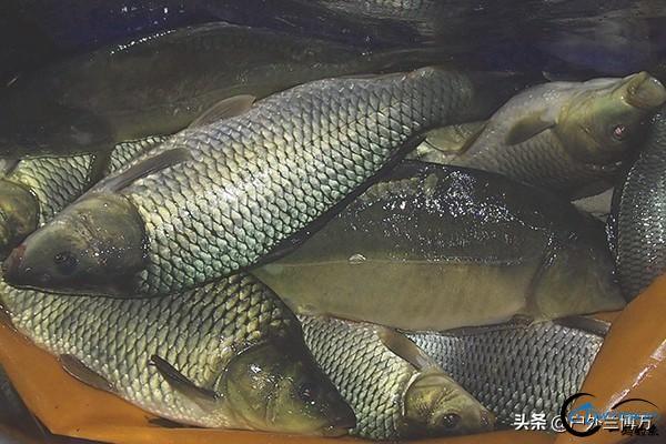钓鱼人常用的麦薯味小药制作过程分享,想学的钓友看过来吧-1.jpg