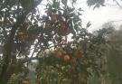长湖大亮血橙出售