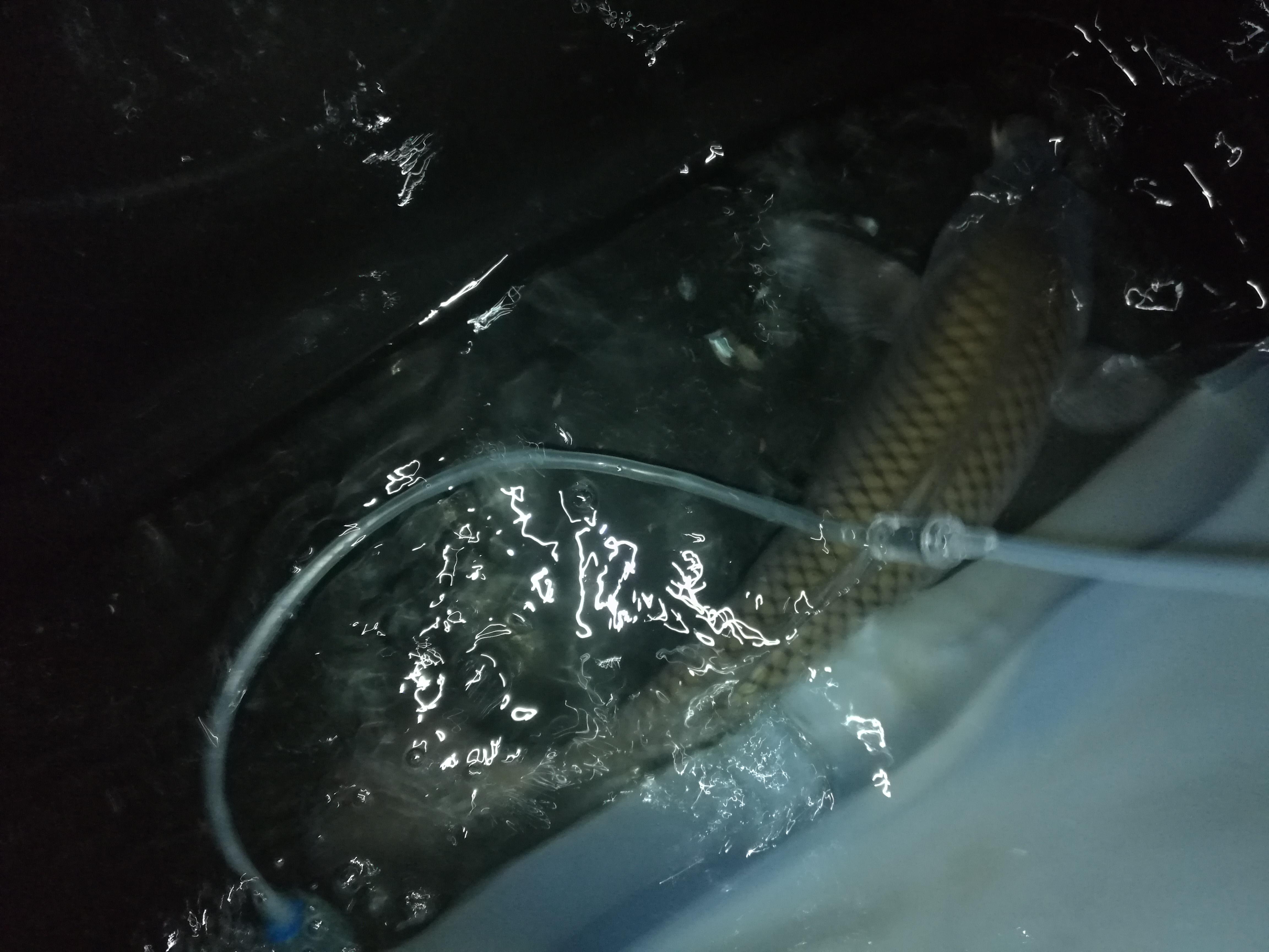 这是12月26号另外一条鲤鱼